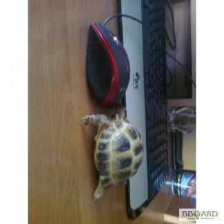Продам сухопутную черепаху!!!