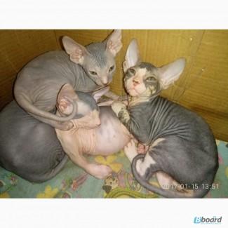 Продам котенка Донского сфинкса
