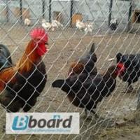 Продам инкубационные яйца кур породы Маран