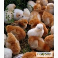 Цыплята-несушки Ломан-Брауд !