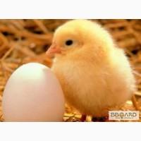 Продам суточных цыплят-бройлеров КОББ 500.