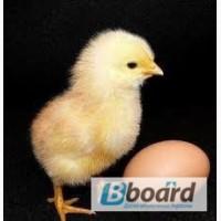 Продаю яйця бройлера