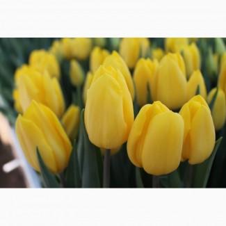 Луковицы тюльпанов на выгонку