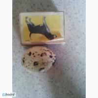 Яйца перепелов столовые, инкубационные