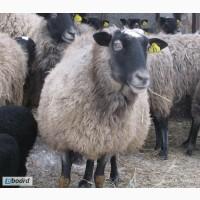 Овцы бараны ярки ягнята романовской породы 600 голов