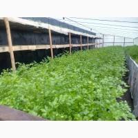 Продам свежую ароматную зелень-петрушку, зеленый лук-перо до 45см