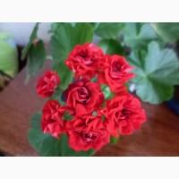 Комнатные растения Пеларгония
