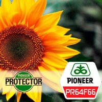Семена подсолнечника ПР64Ф66 Пионер