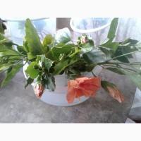 Гибискус, цвет-коралл, желтый, красный, лиловый, розовый. Укорененные черенки