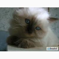 Котёночек регдолл. Девочка