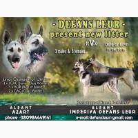 Высокопородные щенки Восточно-европейской овчарки (ВЕО) КСУ