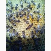 5 Пчеломатки карпатка (карпатка) Бджоломатки Матки пчелиные 2018 Доставка