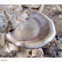 Мицелий вешенки флоридской