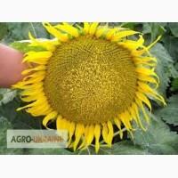 Посевной материал Подсолнечник Соняшник Бомонд (под гранстар 30 гр) Семанс Франция