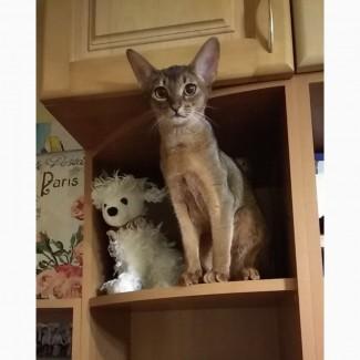 Абиссинские мальчики- котята