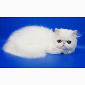 Персидский котенок белого окраса Фелисия