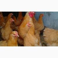 Орпингтон желтый инкубационные яйца
