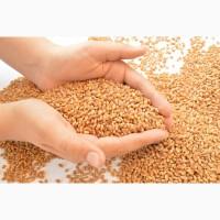 Семена пшеницы Тацитус / Насіння пшениці від ПБФ «Колос»