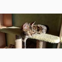 Продажа котят бенгальской породы Ровно