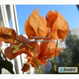 Бугенвиллия Оранжевая