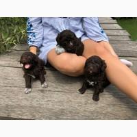 Очаровательные щеночки породы Лаготто-романьоло от титулованной пары