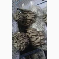 Продам грибы вешека оптом, вешенка Харьков