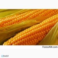 Кремень 200 СВ среднеранний кремнистый гибрид кукурузы