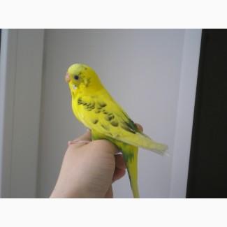 Продам волнитых попугаев