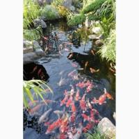 Рыбки для пруда, цветные карпы кои, купить оптом карп кои, малек карп кои, нимфеи, корм для кои