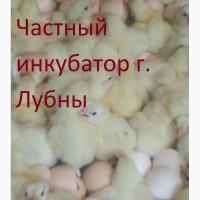 Суточные цыплята бройлера КОББ 500 и др. видов птицы