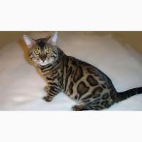 Бенгальская кошка Днепр. Бенгальские котята