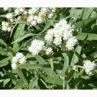 Сушеница болотная (топяная) 50 грамм