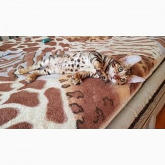 Бенгальская кошка. Продажа котят бенгальской кошки
