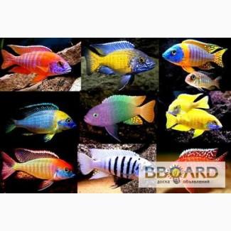 Большой ассортимент очень ярких рыбок . от 15 гр штука. ( отсылаем от 250гр )