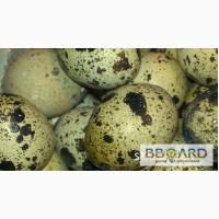 Перепел Фараон, Техасский, Маньчжурский яйцо для инкубации