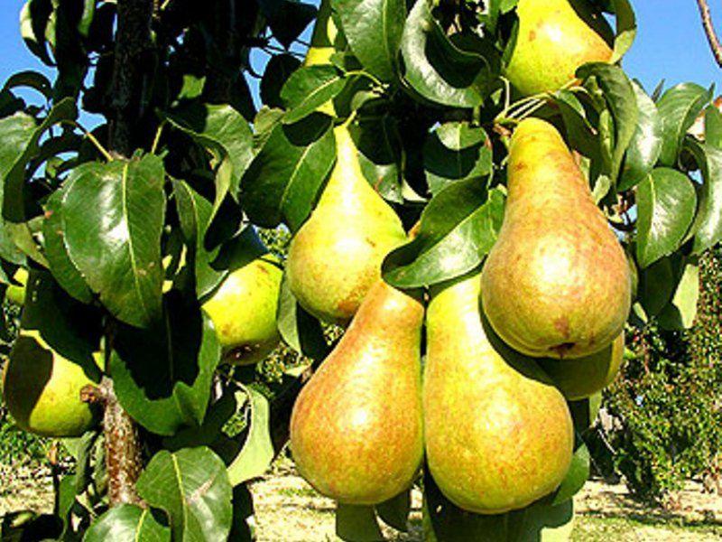 Выращивание груши в крыму 3248
