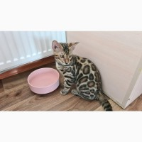 Продаж кішок і кошенят породи бенгальська Україна