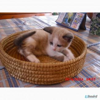 Продается котенок-мальчик