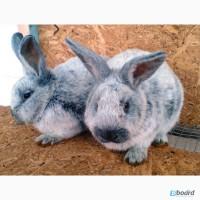 Продам кроликов породы Европейское серебро (БСС, Большое Светое Серебро, Шампань)