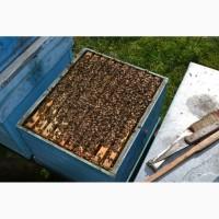Пчелопакеты 3+1 Карпатка F1, Готовность на 1 мая 2019 г