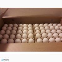 Инкубационное яйцо Росс-308, Кобб-500, Кобб-700(польша)