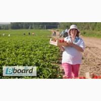 Сборщик ягод в Польше