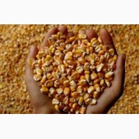 Продам семена кукурузы украинской и импортной селекции