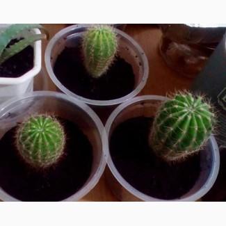 Обменяю кактусы