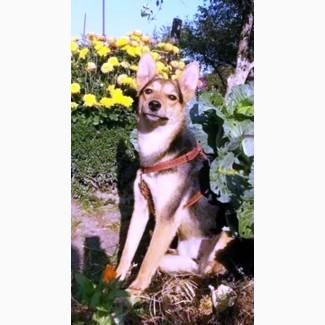 Умнейшая собачка - лисичка, щенок, стерильна