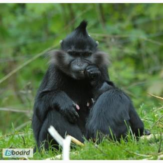 Мангобей черный