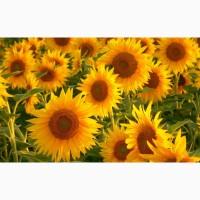 Бонд посівний матеріал соняшнику під гранстар