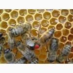 Реалізуємо плідні бджоломатки Степной Украинской Породы Доставка