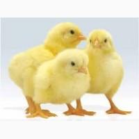 Курчата-бройлери