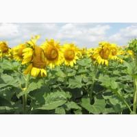 Семена подсолнечника - Рембо